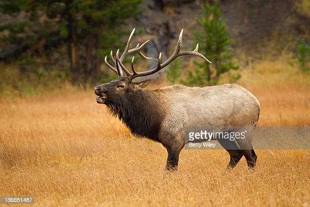 bull elk in grass meadow - elk stock pictures, royalty-free photos & images
