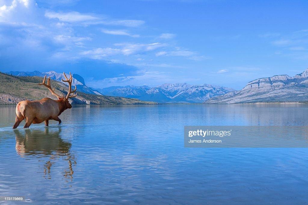 Bull Elk in Jasper Lake : Stock Photo