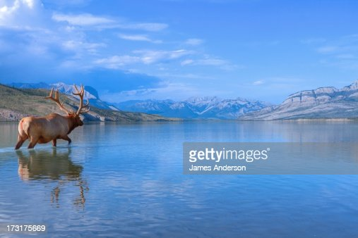 Bull Elk in Jasper Lake