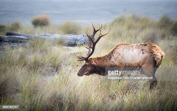 bull elk in meadow - humboldt redwoods state park stock photos and pictures