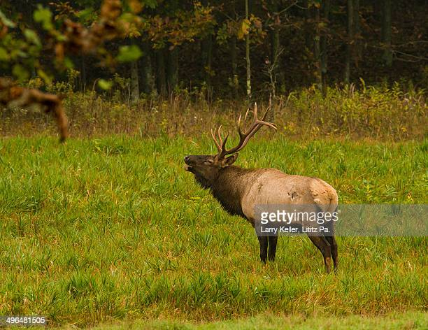 bull elk - bugle stock pictures, royalty-free photos & images