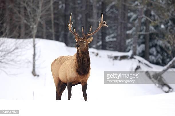 bull elk - wapiti foto e immagini stock