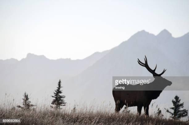 bull elk sihouette in banff - wapiti foto e immagini stock