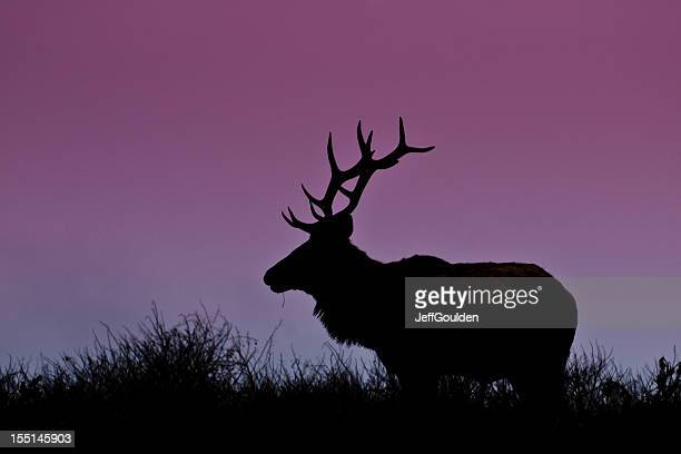 Bull Elk Silhouetted on a Hill