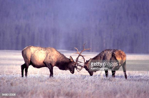 bull elk sparring - wapiti foto e immagini stock