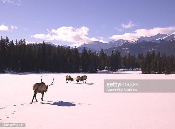 Bull elk (cervus elaphus) standing in snow covered landscape
