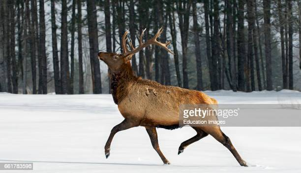 Bull Elk Stepping Out in Snow Northern Ontario Canada