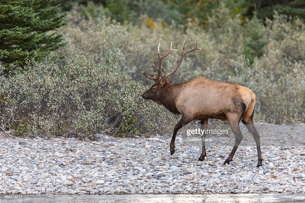 Bull elk walking on rocky shoreline : Stock Photo