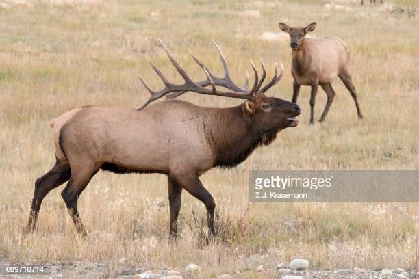 bull elk watching over cow elk displaying rut behavior. - bugle stock pictures, royalty-free photos & images