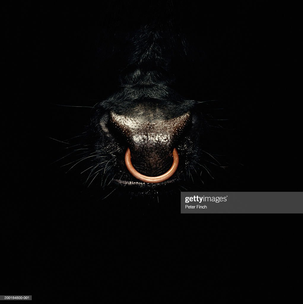 Bull emerging from darkness, ring through nose, close-up : Stock Photo