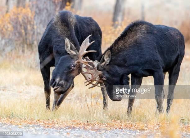 bull fight - mannetjesdier stockfoto's en -beelden
