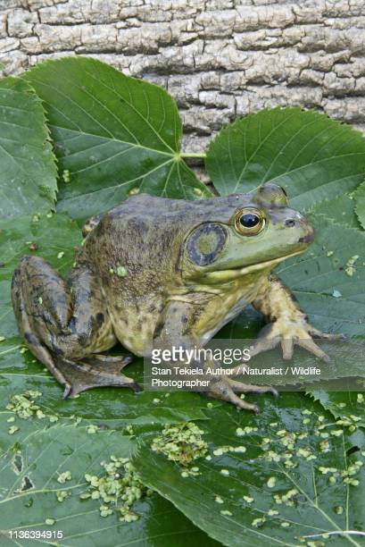 bull frog, bullfrog, on lily pad - bullfrog stock pictures, royalty-free photos & images