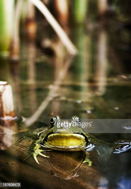 bull frog - bullfrog stock pictures, royalty-free photos & images