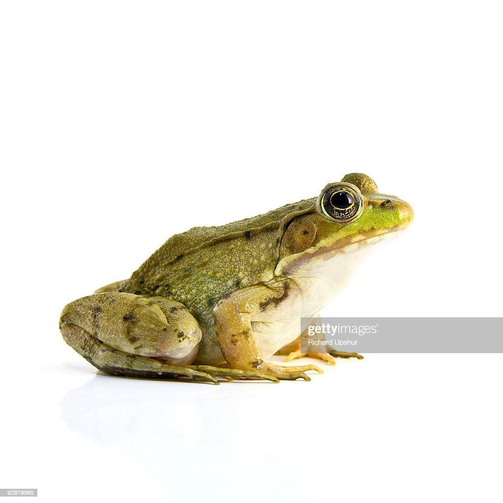 Bull Frog : Stock-Foto