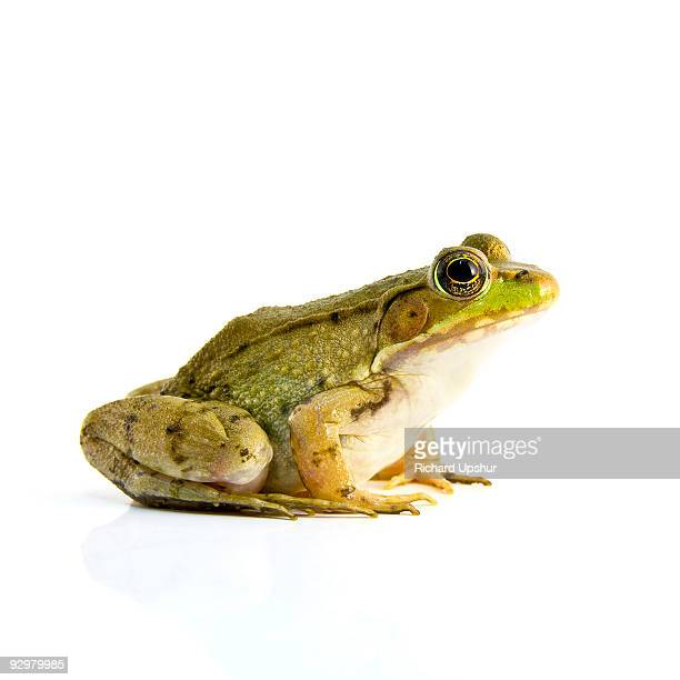 bull frog - frog stock pictures, royalty-free photos & images