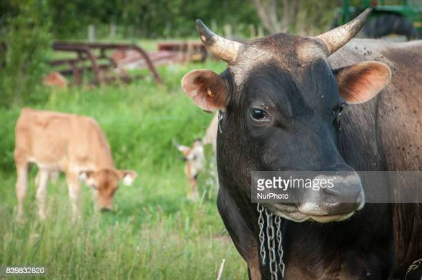 A bull grazes among cows on a farm in the agricultural town of MontSaintGrégoire Quebec on 21 June 2011