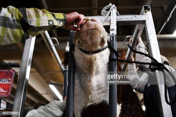 A bull his held by a ring as its scrotum circumference is measured during the National Western Stock Show on Tuesday January 9 2018