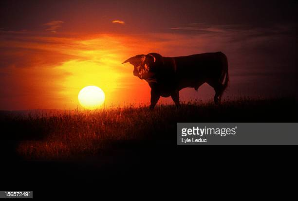 A bull in a field at sunrise