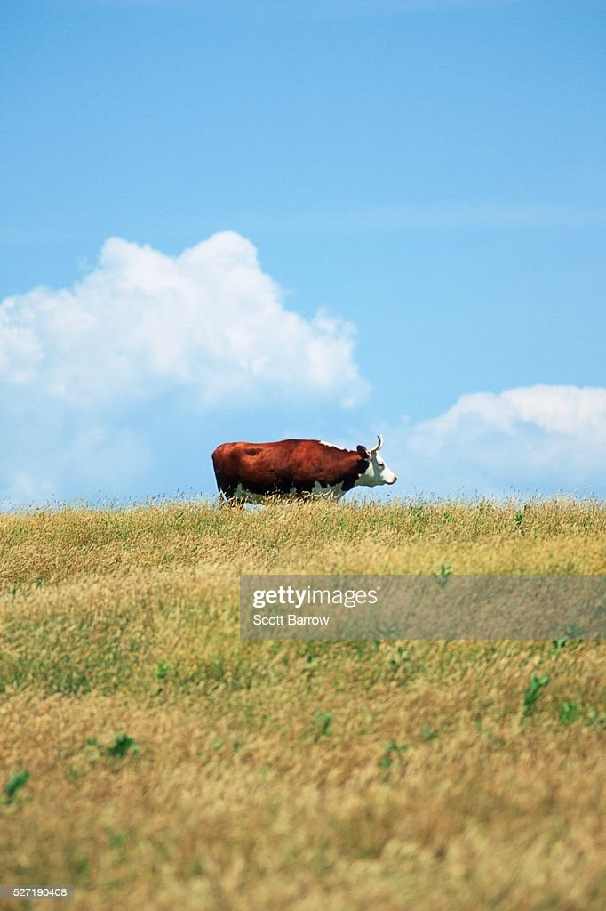 Bull in a field : Foto stock
