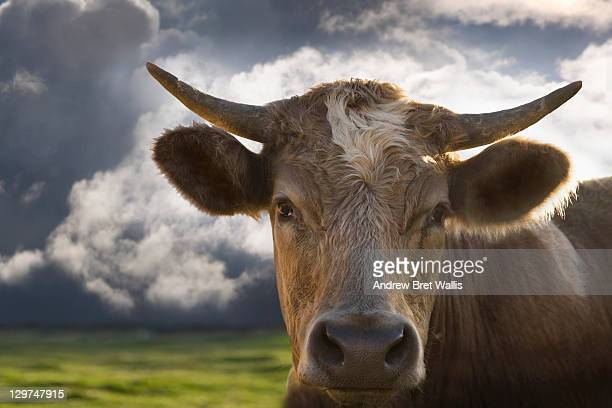 Bull in a field with approaching storm
