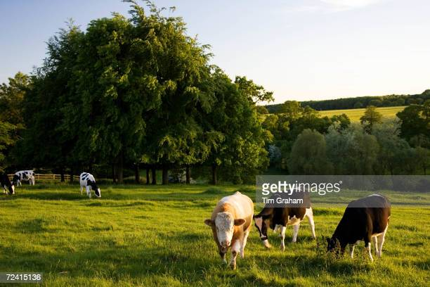 Bull in a field with cows Oxfordshire The Cotswolds United Kingdom