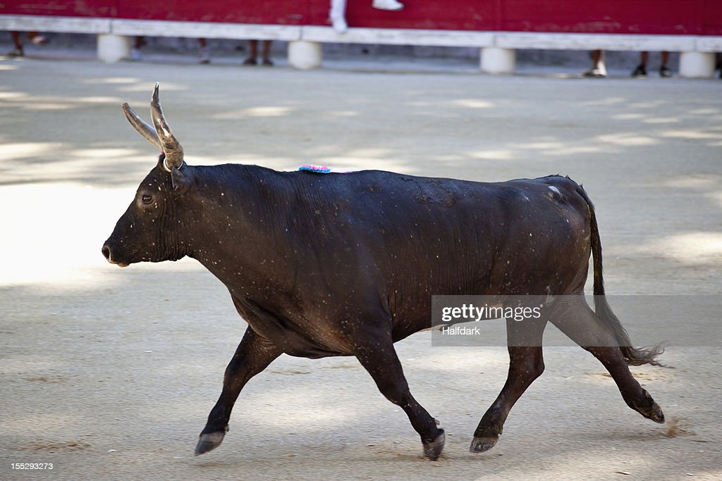 A bull in an arena : Stock Photo