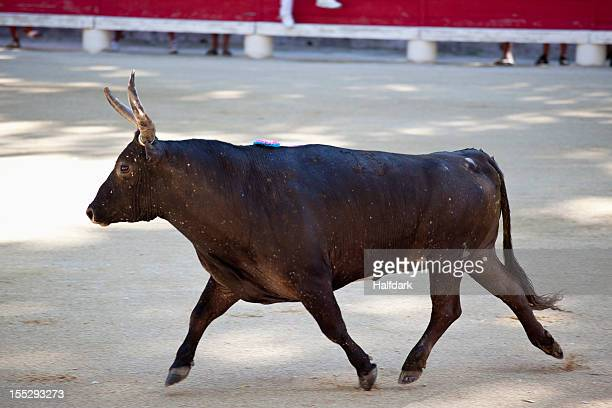 a bull in an arena - bullock stock photos and pictures
