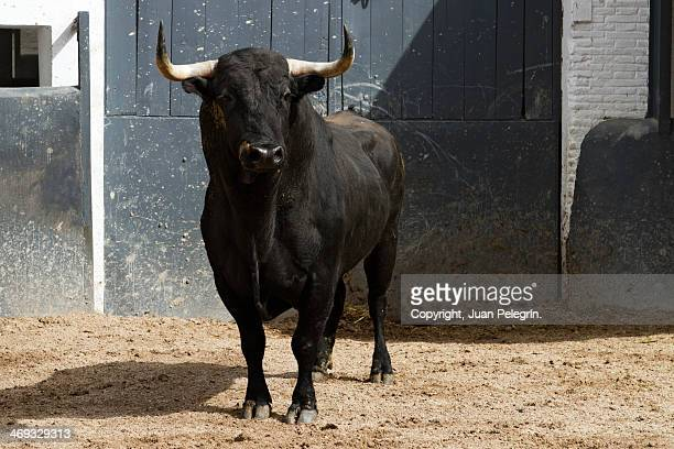 bull in madrid - bull animal stock photos and pictures