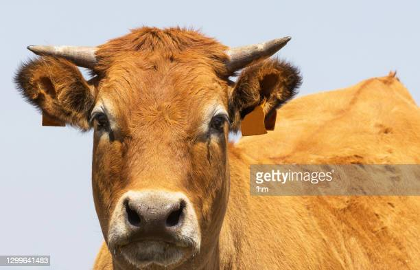 bull is looking to camera - cow eyes stock pictures, royalty-free photos & images