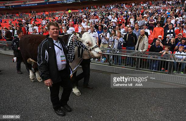 A bull is paraded around the pitch infront of the Hereford United fans before The FA Vase Final match between Hereford FC and Morpeth Town at Wembley...