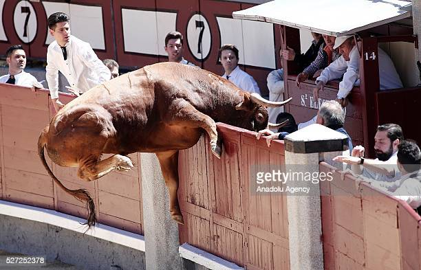 A bull jumps over the arena fences performs a pass to a bull during the 'Goyesca' bullfight at Las Ventas bullring in Madrid on May 02 2016