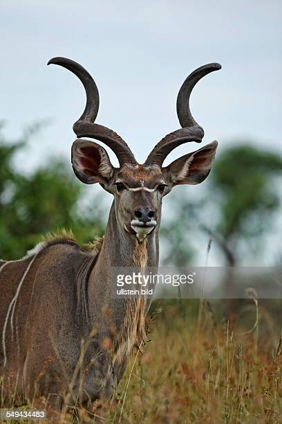 Bull Kudu portrait Kruger National Park South Africa