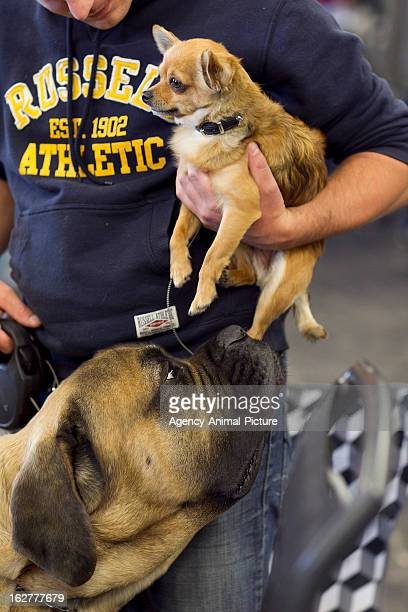 Bull Mastiff and a Chihuahua at the CACIB dog exhibition Westfalenhallen Dortmund on October 16 2011 in Dortmund Germany