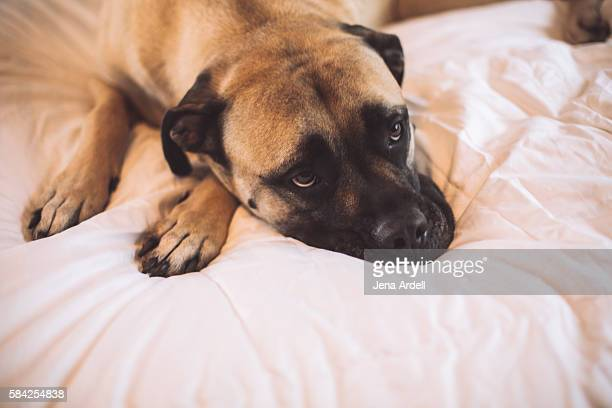 bull mastiff dog on bed - bull mastiff stock pictures, royalty-free photos & images