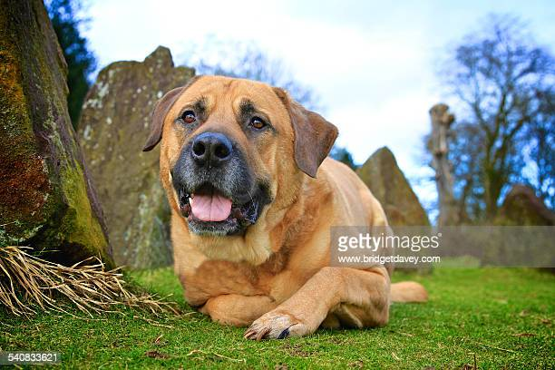 bull mastiff laying down - bull mastiff stock pictures, royalty-free photos & images