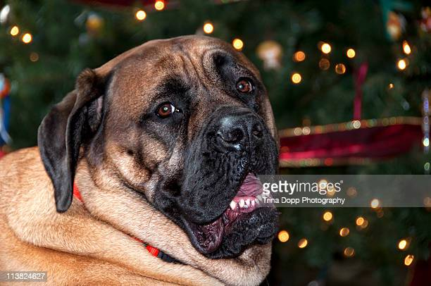 bull mastiff on christmas day in front of the tree - bull mastiff stock pictures, royalty-free photos & images
