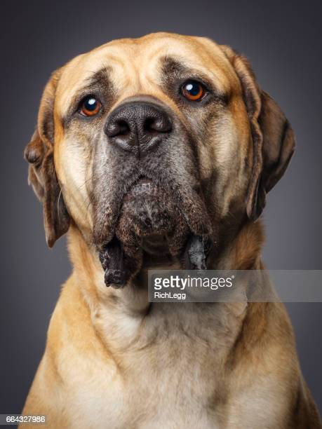 bull mastiff - bull mastiff stock pictures, royalty-free photos & images
