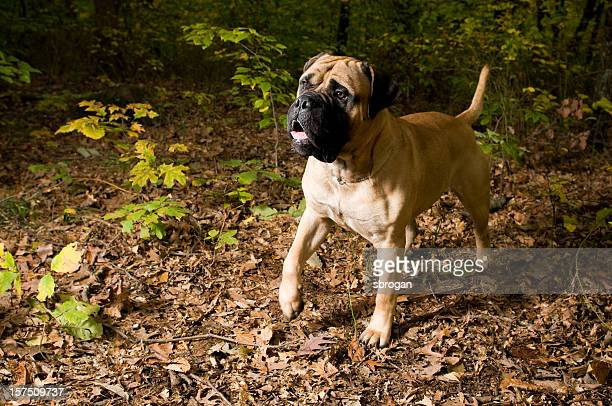 bull mastiff puppy - bull mastiff stock pictures, royalty-free photos & images