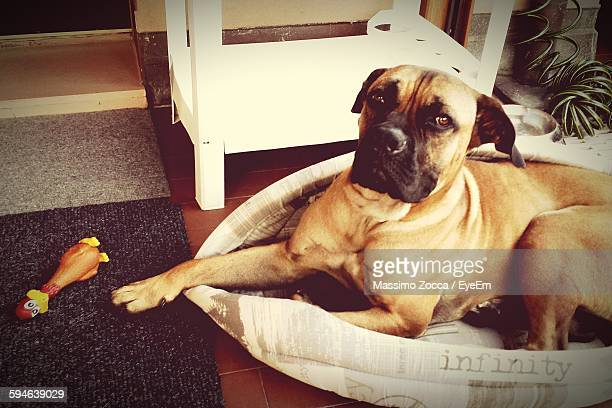 bull mastiff relaxing in pet bed - bull mastiff stock pictures, royalty-free photos & images
