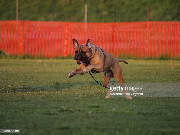 bull mastiff running on grassy field - bull mastiff stock pictures, royalty-free photos & images