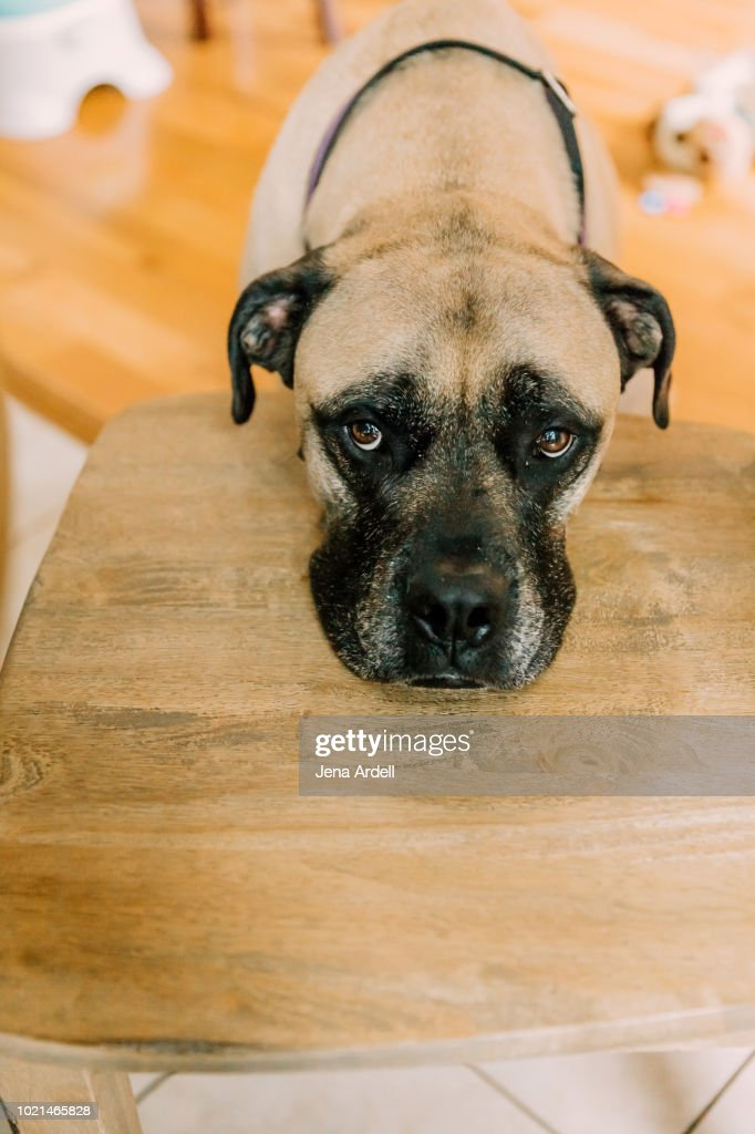 Bull Mastiff Sad Dog Guilty Dog Bad Dog Puppy Dog Eyes Puppy Eyes