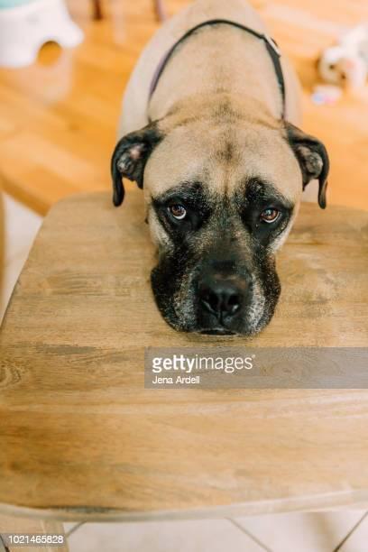 bull mastiff, sad dog, guilty dog, bad dog, puppy dog eyes, puppy eyes, large dog breed, concepts: depression, sadness - guilt stock pictures, royalty-free photos & images