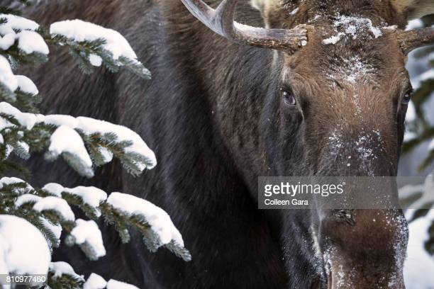 Bull moose, Alces alces, in Kananaskis Country, Alberta, Canada.