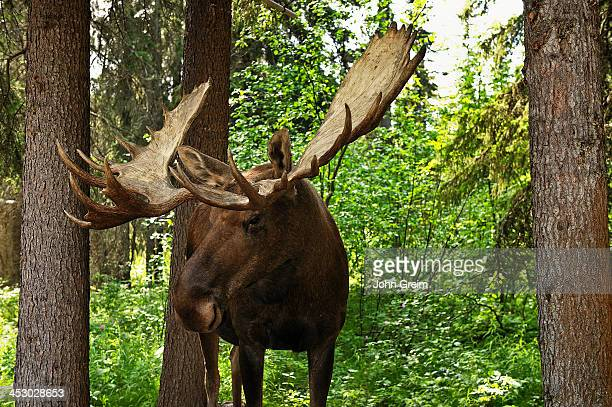 Bull moose Alces
