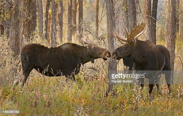 bull moose and cow kissing in forest - male animal stock pictures, royalty-free photos & images