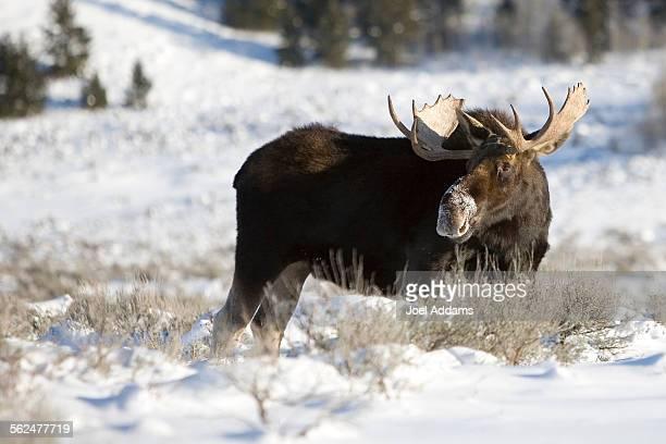 Bull Moose at Moose Junction, Grand Teton National Park, Wyoming