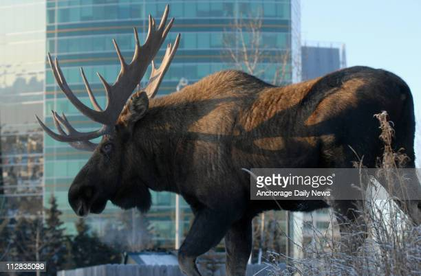 A bull moose browsed in Cuddy Family Midtown Park in Anchorage Alaska before walking down B Street on his way to crossing Tudor Road on Thursday...