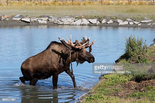 Bull moose (alces alces) coming out of the water, just coming out of shedding its velvet and antlers look a little red, captive at the Alaska Wildlife Conservation Centre