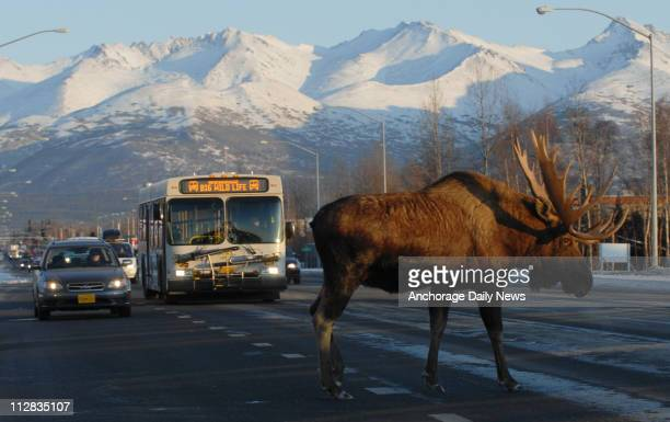 A bull moose crosses Tudor Road after browsing in the Cuddy Family Midtown Park in Anchorage Alaska on Thursday November 19 2009
