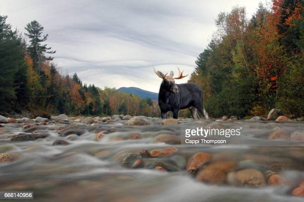 Bull Moose crossing a river in New hampshire during fall